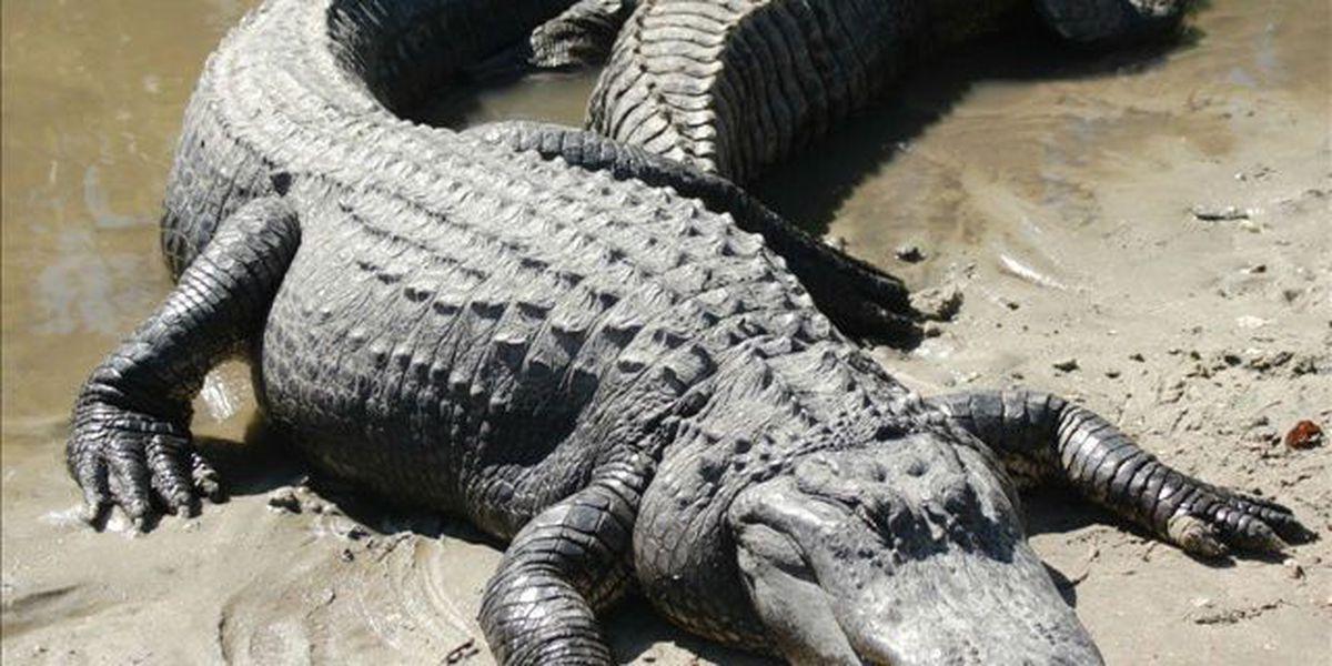 5 gators found butchered in Ashley River