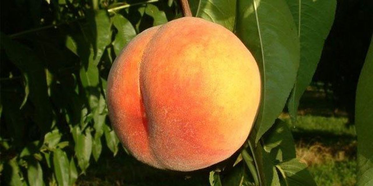 Peaches, plums, nectarines, pluots recalled over Listeria danger