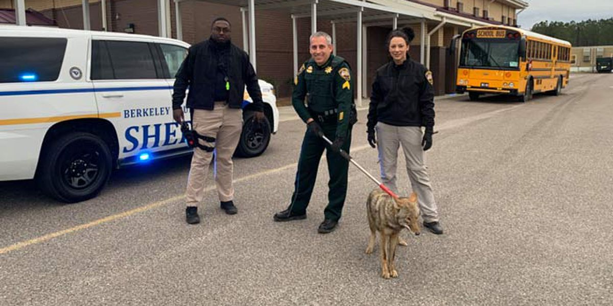Deputies: Coyote pulled from elementary school restroom