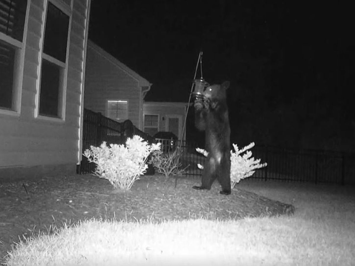 Black bear interactions on the rise in Horry County
