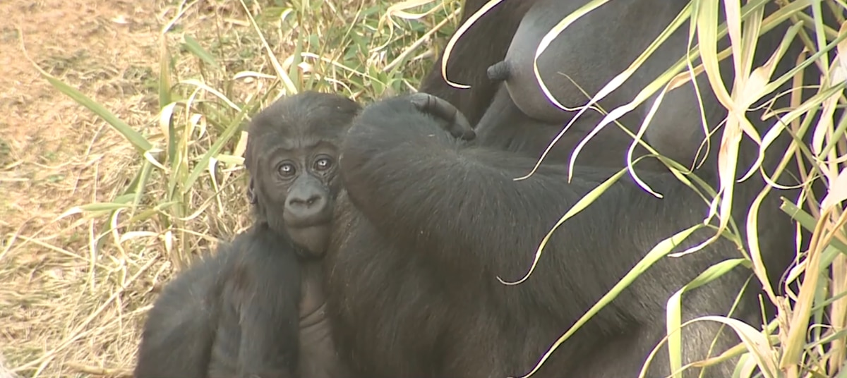 Riverbanks Zoo announces name of youngest gorilla