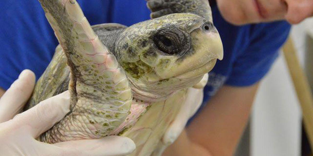 SC Aquarium receives 15 New England sea turtles for treatment