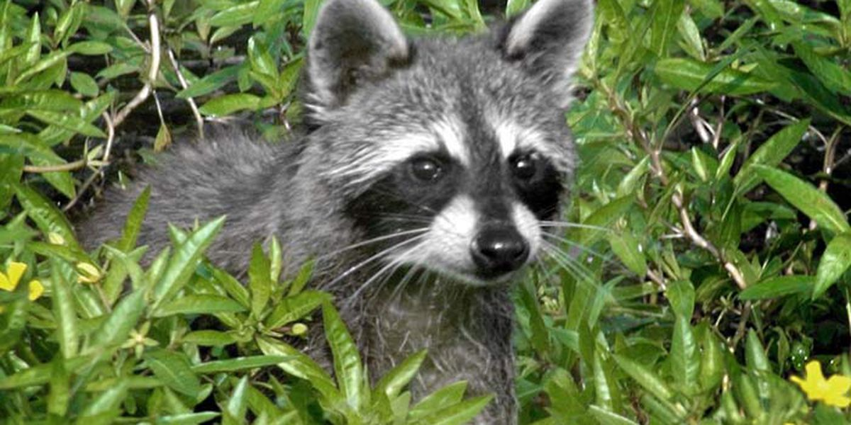 2 pets potentially exposed to rabies by raccoon
