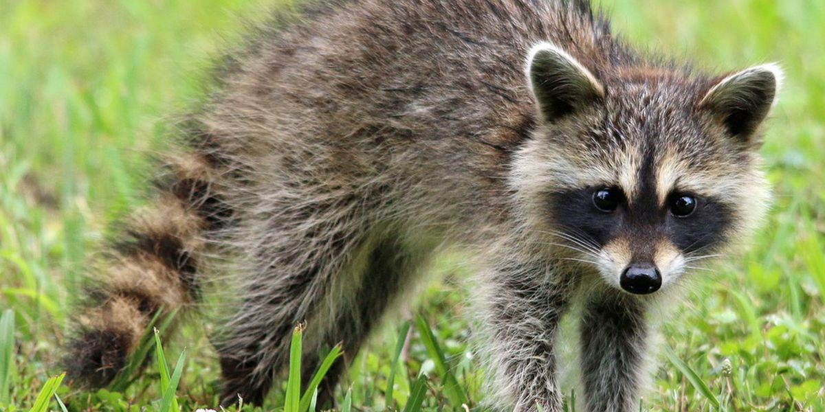 One may have been exposed to rabies by raccoon in Beaufort County