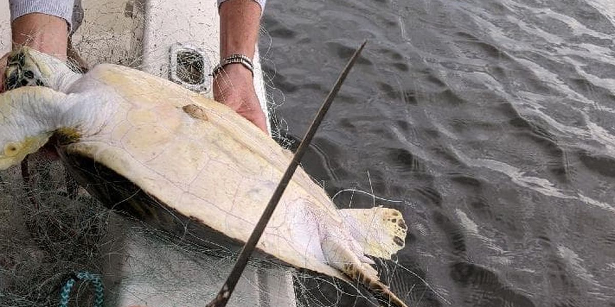 Charter captain saves sea turtle from certain death, caught in a gill net
